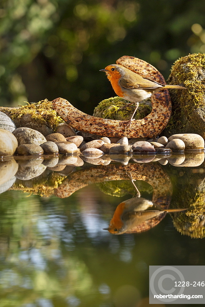 Robin photographed at a garden pond with a rusty old horseshoe, in North Yorkshire, England, United Kingdom, Europe