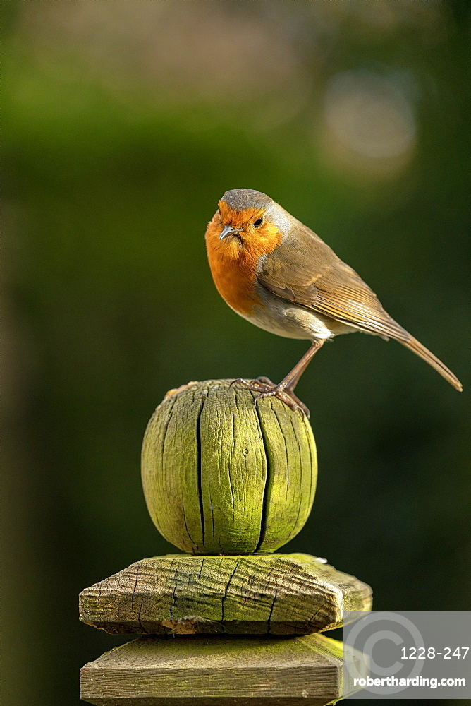 Robin perched on a weathered garden fence post in North Yorkshire, England, United Kingdom, Europe