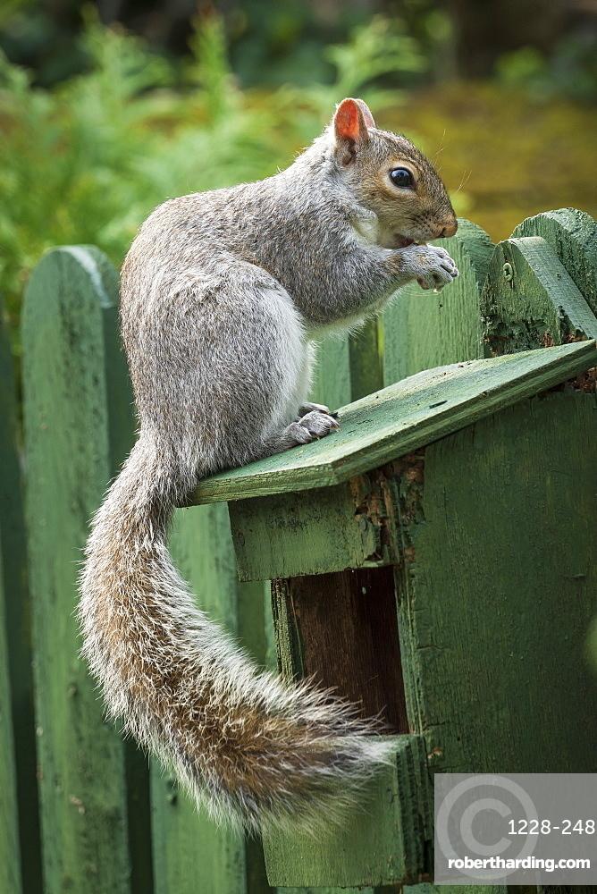 A Grey Squirrel photographed at a garden bird feeder in York, North Yorkshire, England, United Kingdom, Europe