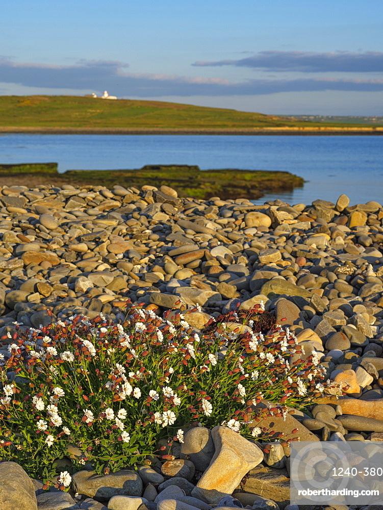 Sea Campion, County Clare, Munster, Republic of Ireland, Europe