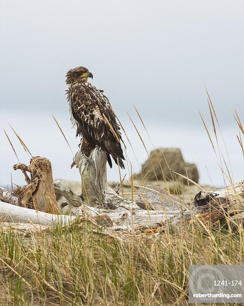 Juvenile Bald Eagle (Haliaeetus leucocephalus), Cape Breton National Park, Nova Scotia, Canada, North America