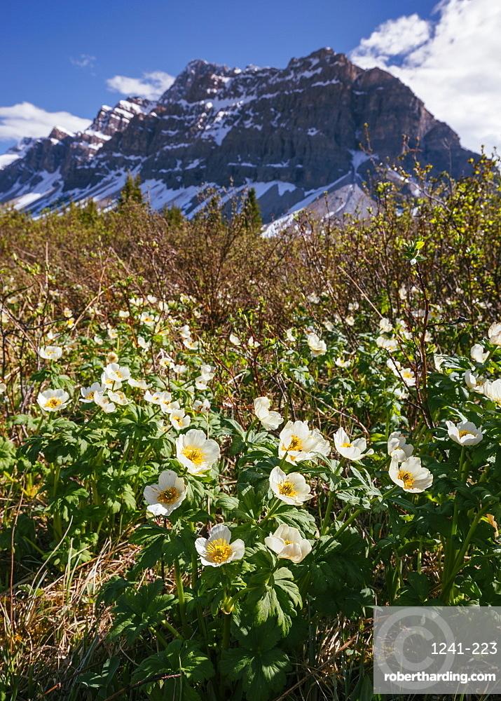 White Globe Flowers and Crowfoot Mountain, Banff National Park, Alberta, Canada