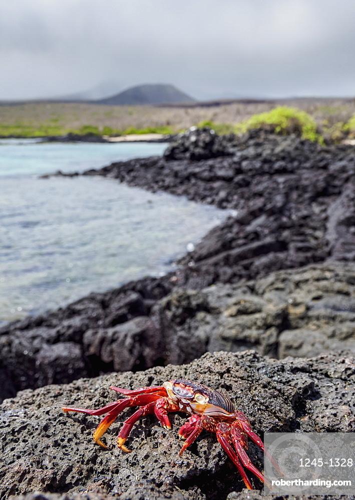 Sally Lightfoot crab (Grapsus grapsus), Floreana (Charles) Island, Galapagos, UNESCO World Heritage Site, Ecuador, South America