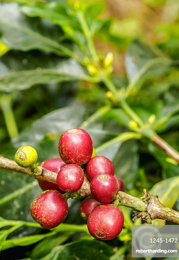 Coffee cherries, Coffee Triangle, Salento, Quindio Department, Colombia, South America