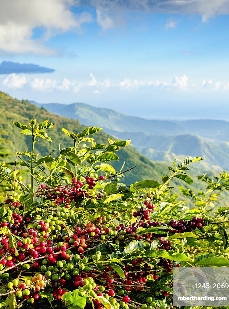 Coffea cherries at Coffee Plantation, Blue Mountains, Saint Thomas Parish, Jamaica, West Indies, Caribbean, Central America