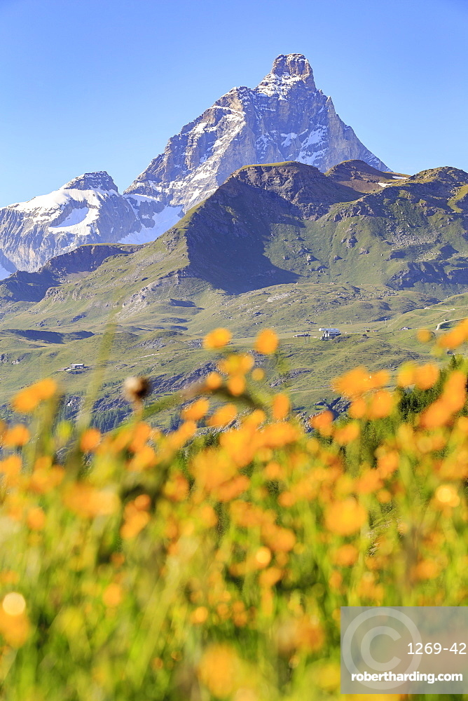 Summer blooms with the Matterhorn in the background, Cheneil, Valtournanche, Aosta Valley, Italy, Europe