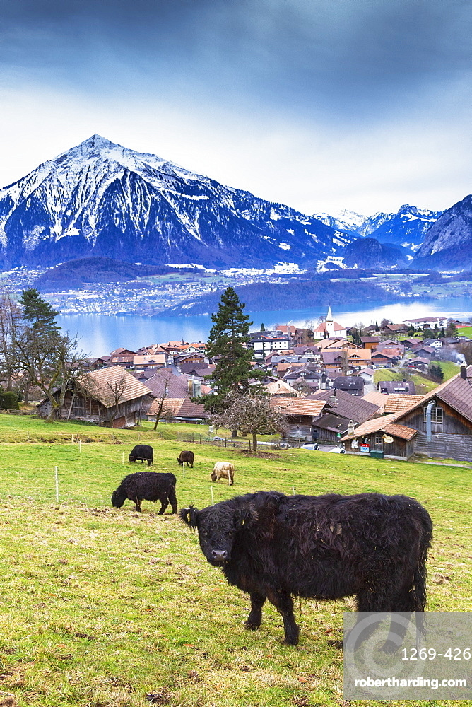Cow grazing at Sigriswil, Canton of Bern, Switzerland, Europe