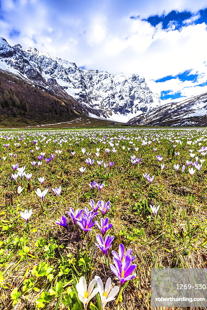 Flowering of Crocus nivea in Val Radons (Radons Valley), Albula region, Canton of Grisons (Graubunden), Switzerland, Europe