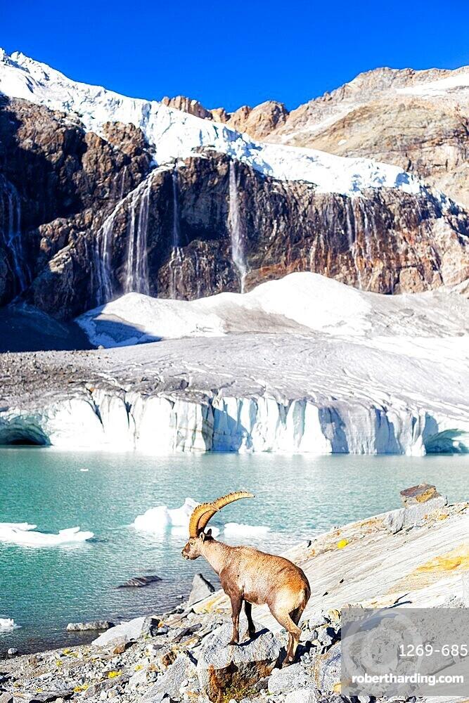 Alpine ibex beside Fellaria glacier, Valmalenco, Valtellina, Lombardy, Italy, Europe