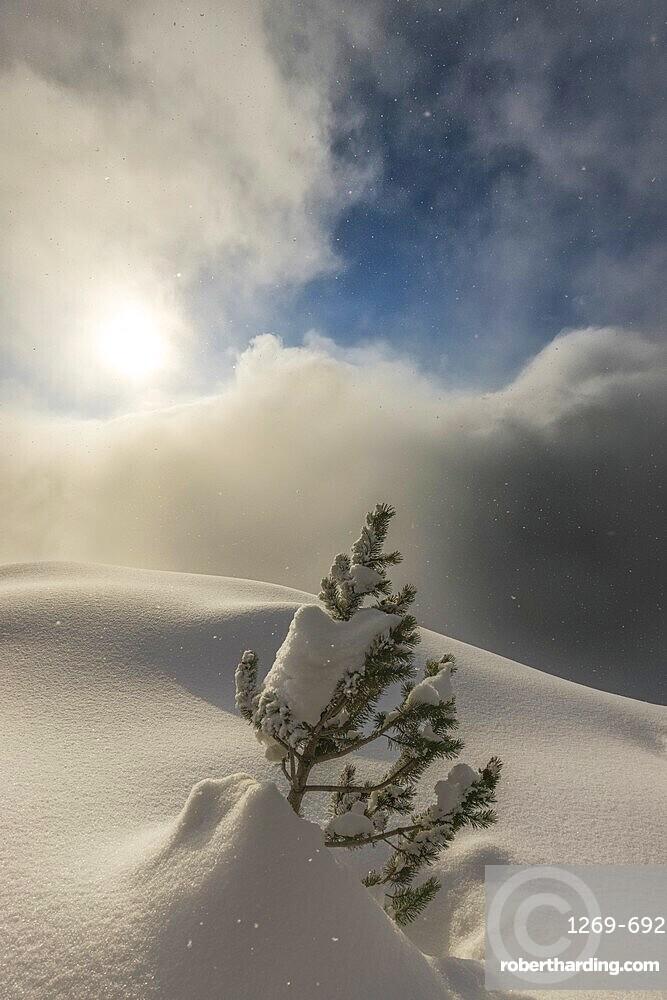 The sun illuminates small pine tree during a snowfall, Valmalenco, Valtellina, Lombardy, Italy, Europe