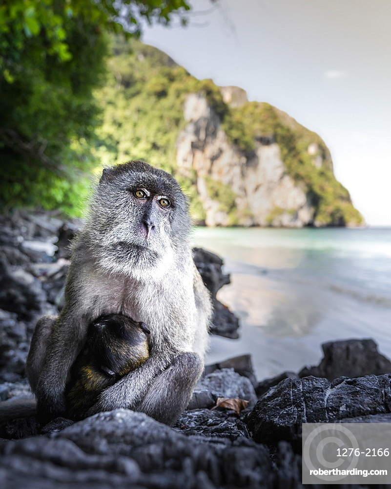 Monkey at Yong Kasem beach, known as Monkey Beach, Phi Phi Don Island, Thailand, Southeast Asia, Asia