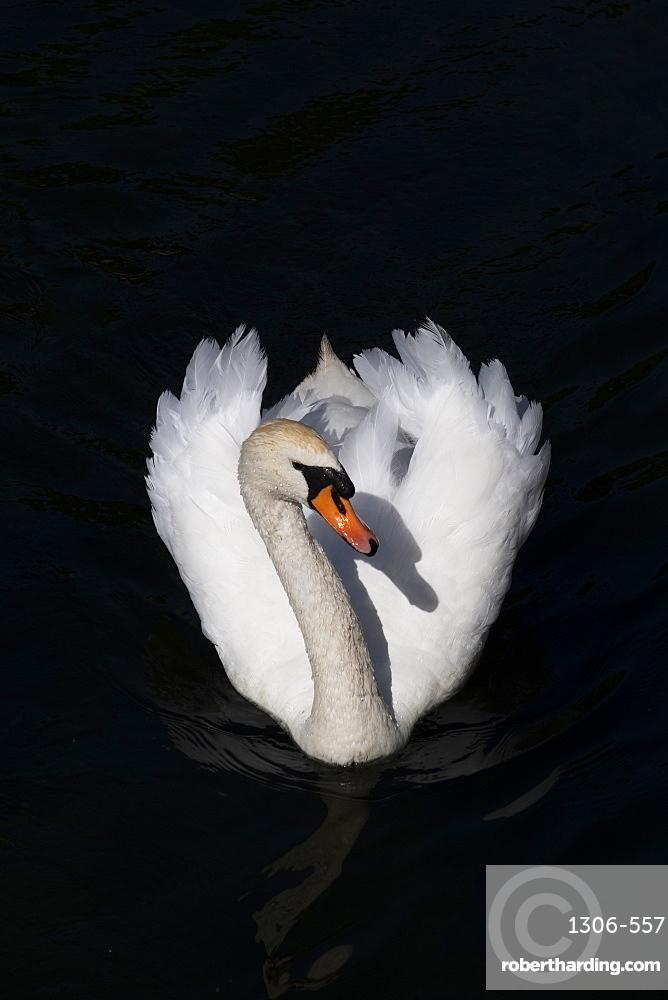 White swan swimming in a lake on black background, Copenhagen, Denmark