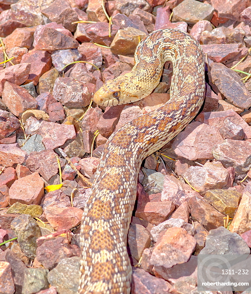 Closeup of an Arizona Gopher Snake, also known as Pituophis Catenifer. A non-venomous constrictor and is harmless to humans.