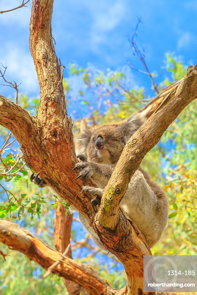 Adult of koala bear with her sharp nails on eucalyptus trunk along koala boardwalk at Phillip Island in Victoria, Australia. Koala Conservation Centre.