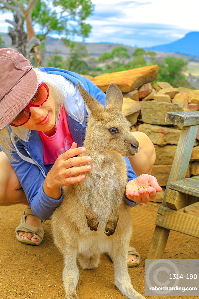 Woman feeding little kangaroo from hand outdoor. Encounter with Australian marsupial animal in Australia. Macropus rufus standing in nature. Front view.