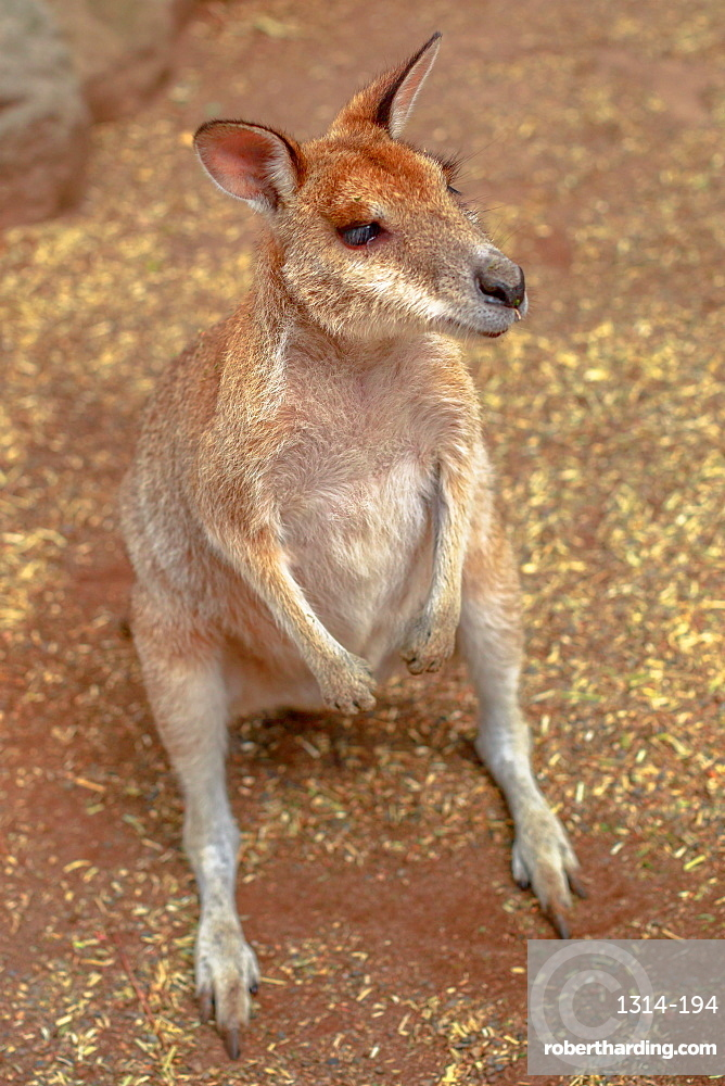 Aerial view of wallaby on the ground outdoors.