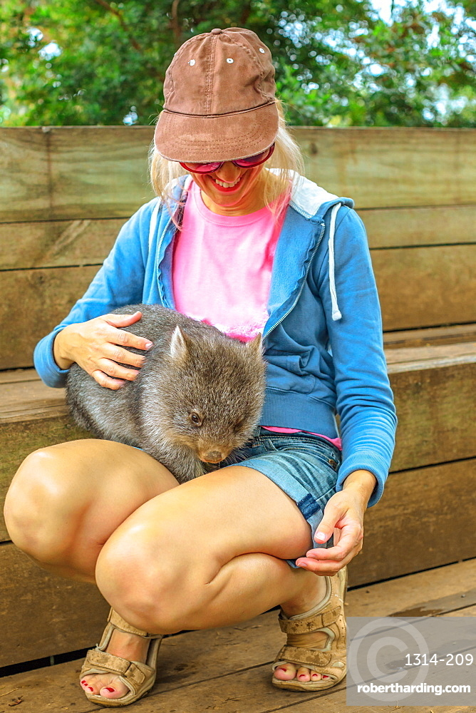 Encounter with Australian wildlife animal in Australia. Happy tourist woman holds on her legs and caresses a wombat, a marsupial Australian mammal. Tourism in Tasmania. Vertical shot.
