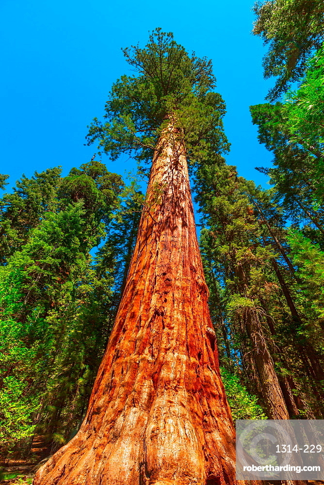 Close up of sequoia tree in Sequoia and Kings Canyon National Park in the Sierra Nevada in California, United States of America, North America