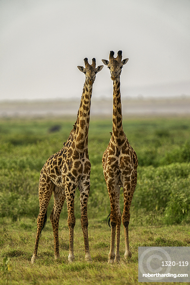 Two Giraffes, Giraffa, in Amboseli National Park, Kenya.