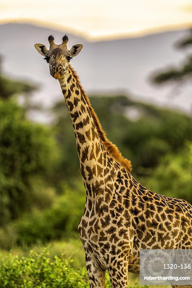 A Giraffe, Giraffa, in the Maasai Mara National Reserve, Kenya.