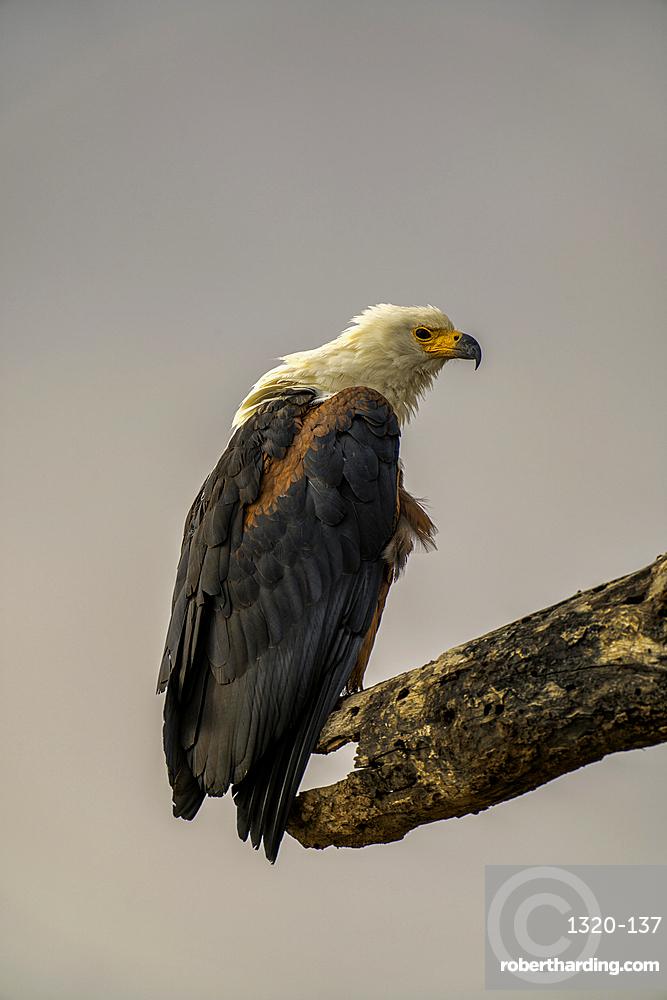 An African Fish Eagle, Haliaeetus vocifer, in Amboseli National Park, Kenya.