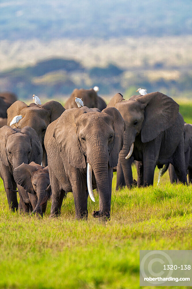 A heard of Elephants, Loxodonta africana, in Amboseli National Park, Kenya.