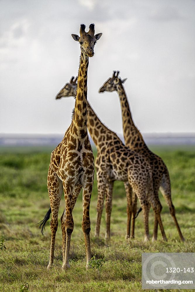 A group of Giraffes, Giraffa, in Amboseli National Park, Kenya.