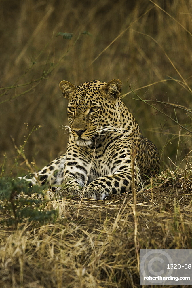 Camouflaged Leopard rests in brush and tall grass, South Luangwa National Park, Zambia, Africa