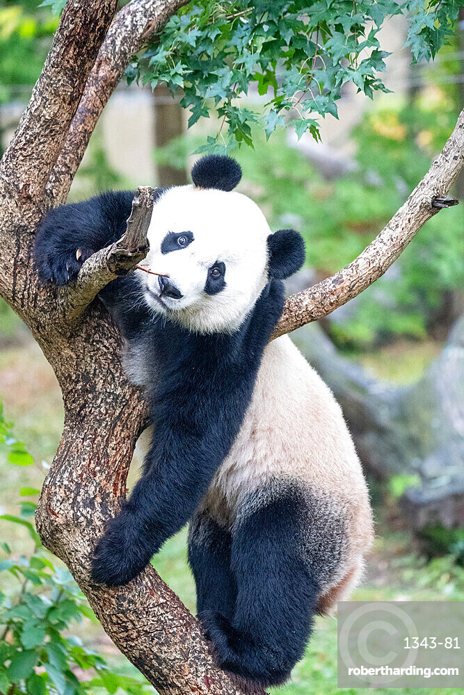 Bei Bei the Giant Panda climbs a tree in his enclosure at the Smithsonian National Zoo in Washington DC, United States of America, North America