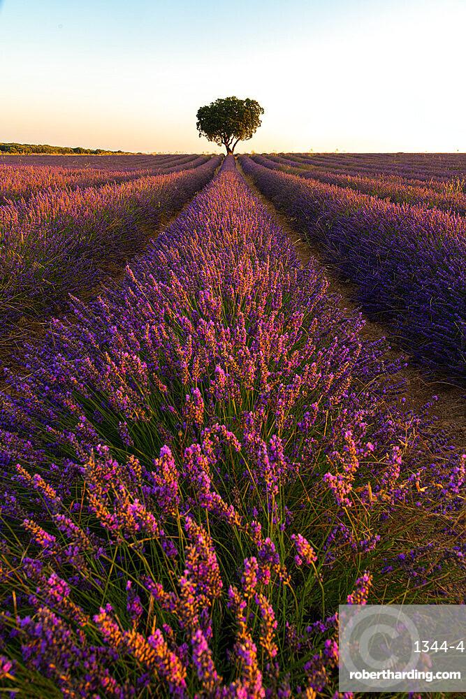 Lavender fields of Brihuega, Guadalajara, Spain, Europe
