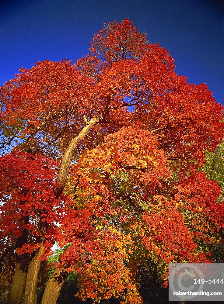 Cotinus tree in October, Royal Botanic Gardens, Kew, London, England, United Kingdom, Europe