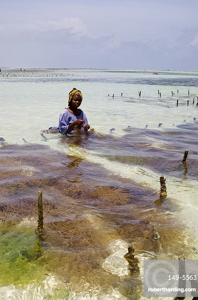 A woman in a colourful dress and headscarf sitting in the sea harvesting seaweed, Paje, Zanzibar, Tanzania, East Africa, Africa