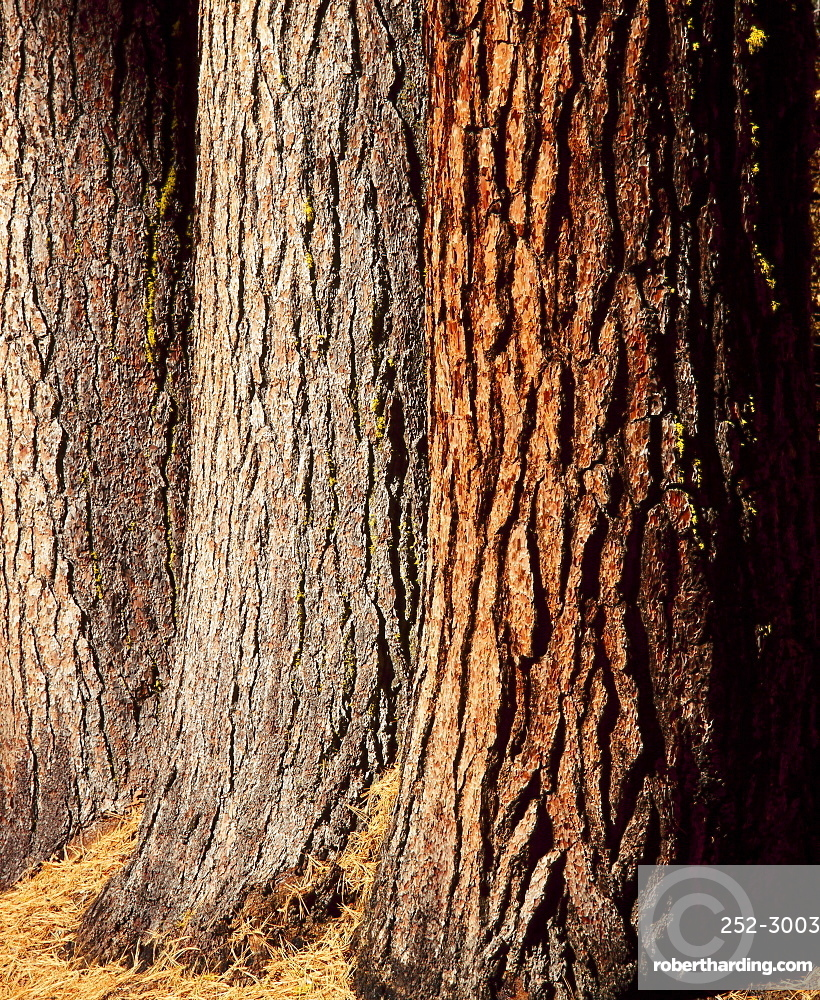 Close-up of the trunks and bark of a grove of Giant Sequoias, Mariposa Grove, Yosemite National Park, California, USA