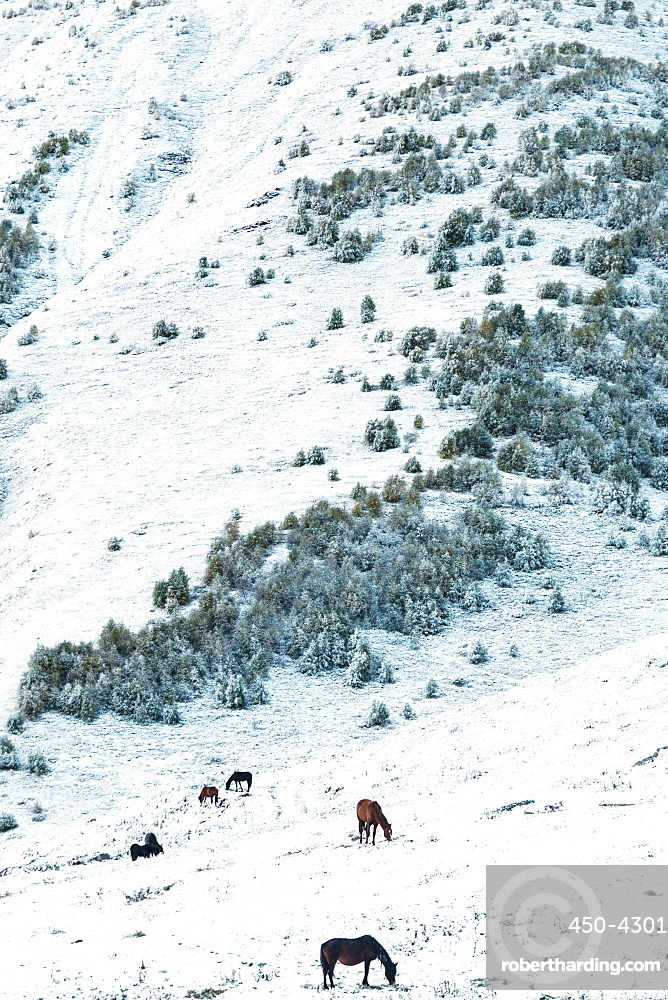 Wild horses grazing in the snow at 2200m above Kazbegi, at dawn near Mount Kazbek, Georgia, Central Asia, Asia