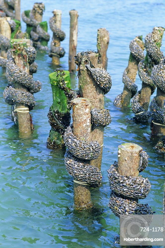 Mussel farming, south coast of the Ile de Noirmoutier, Island of Noirmoutier, Vendee, France