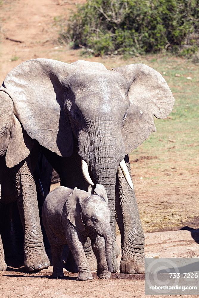 African elephant (Loxodonta Africana), Addo Elephant National Park, Eastern Cape, South Africa, Africa
