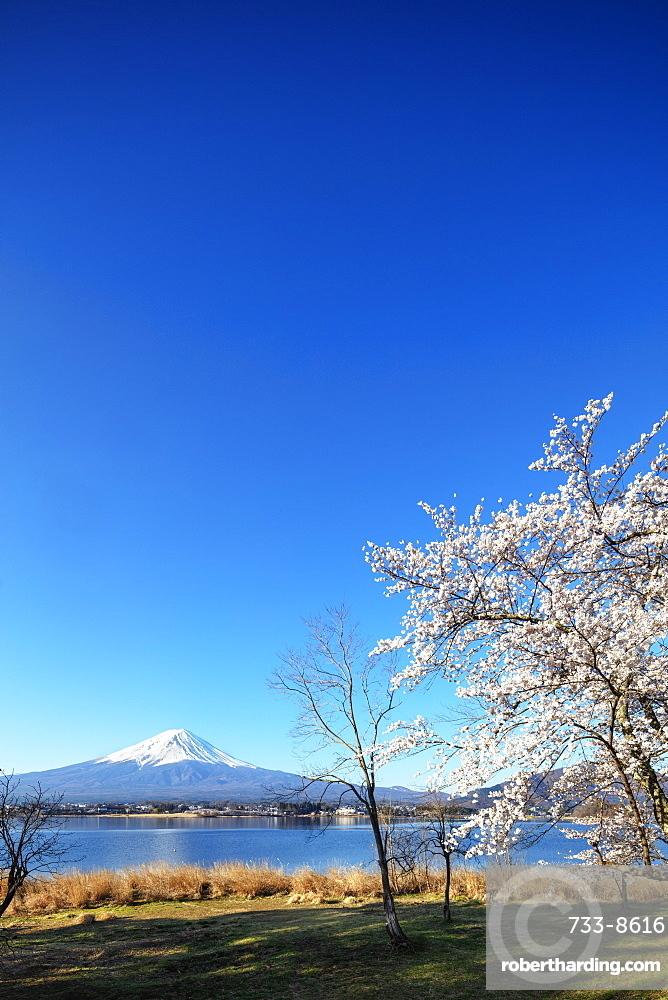 Cherry blossom at Kawaguchiko Lake, and Mount Fuji, 3776m, UNESCO World Heritage Site, Yamanashi Prefecture, Honshu, Japan, Asia