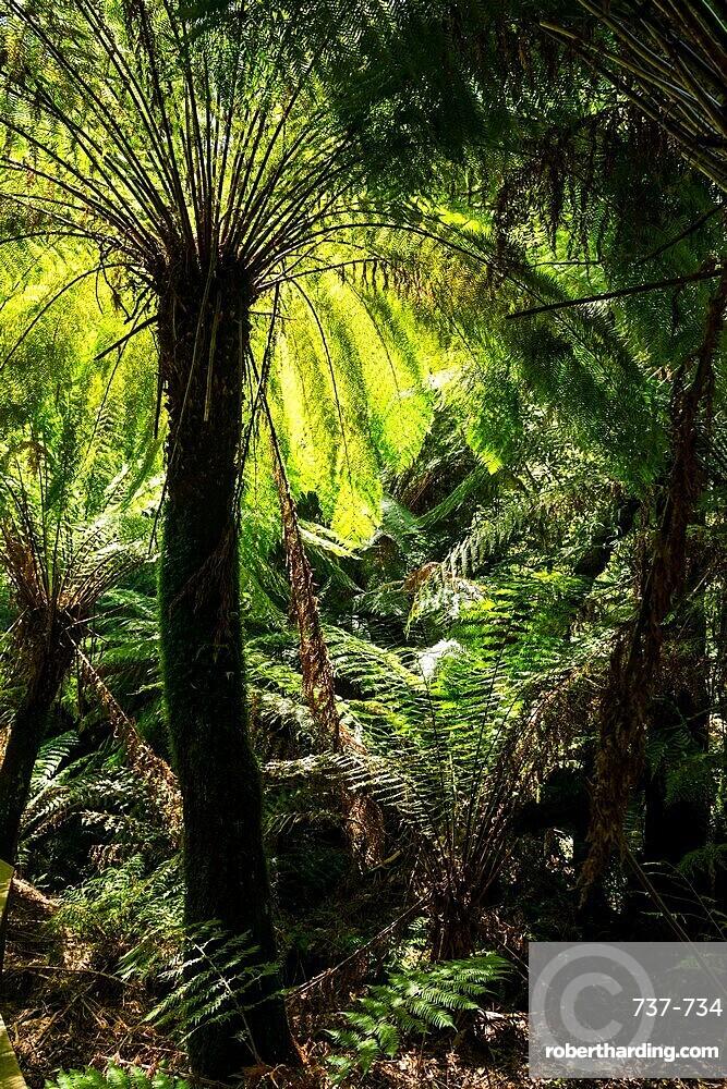 Soft tree-fern (Dicksonia antarctica), Great Otway National Park, Victoria.