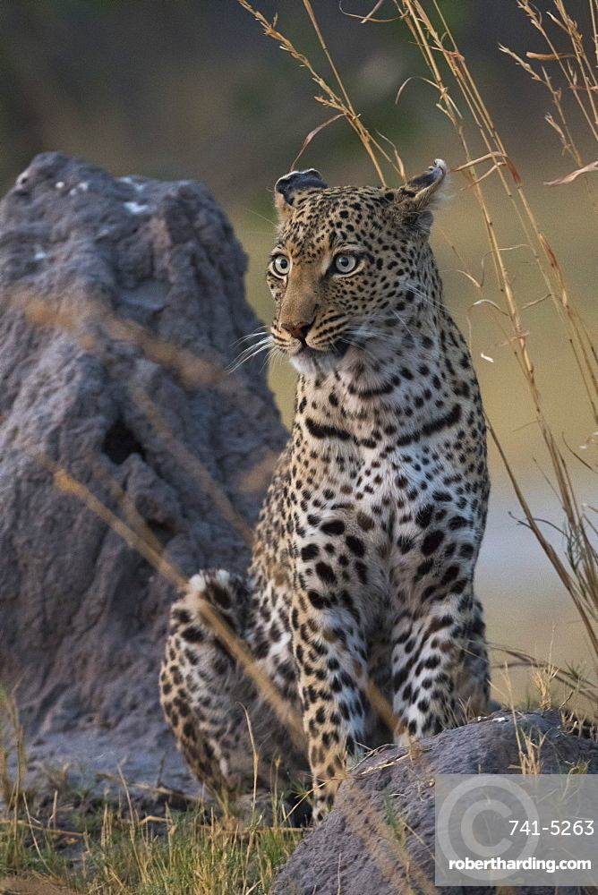 A female leopard (Panthera pardus) standing on a termite mound in the early evening, Botswana, Africa