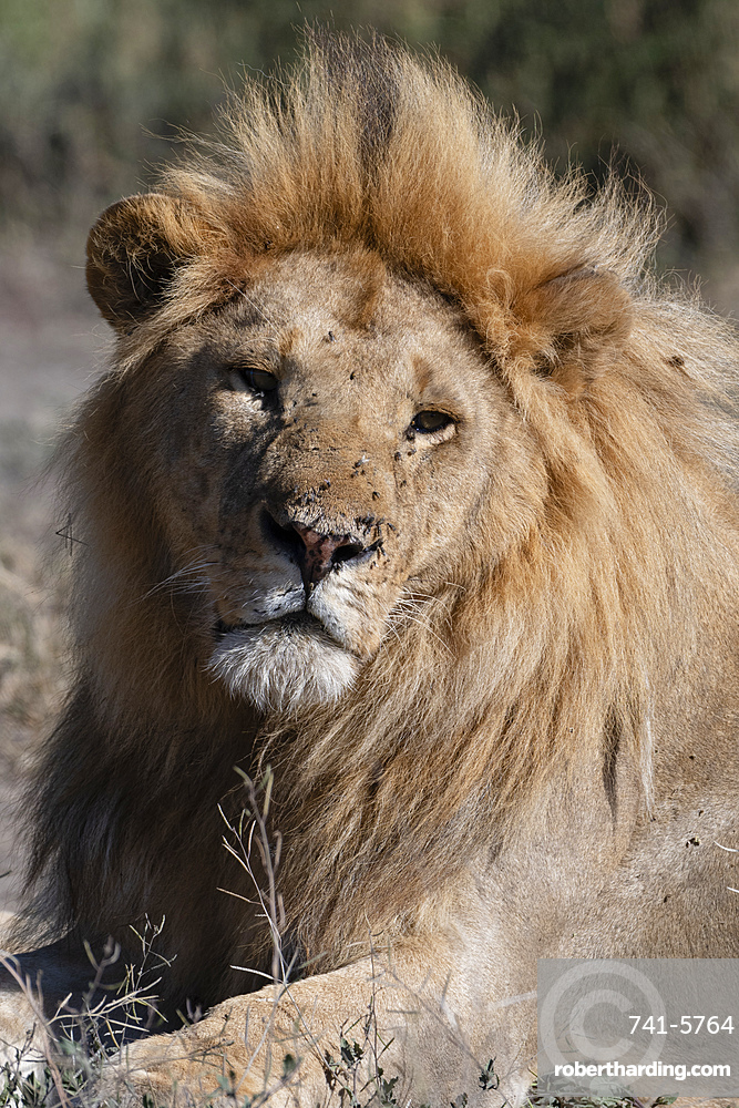 Male lion (Panthera leo), Ndutu, Ngorongoro Conservation Area, UNESCO World Heritage Site, Tanzania, East Africa, Africa