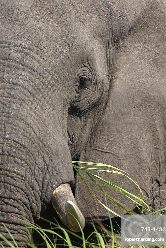 African elephant (Loxodonta africana) bull close up eating, Chobe river, Botswana, Africa