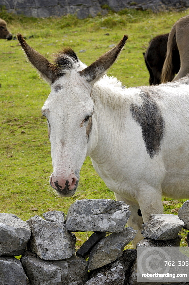 Donkeys on The Burren, County Clare, Munster, Republic of Ireland, Europe