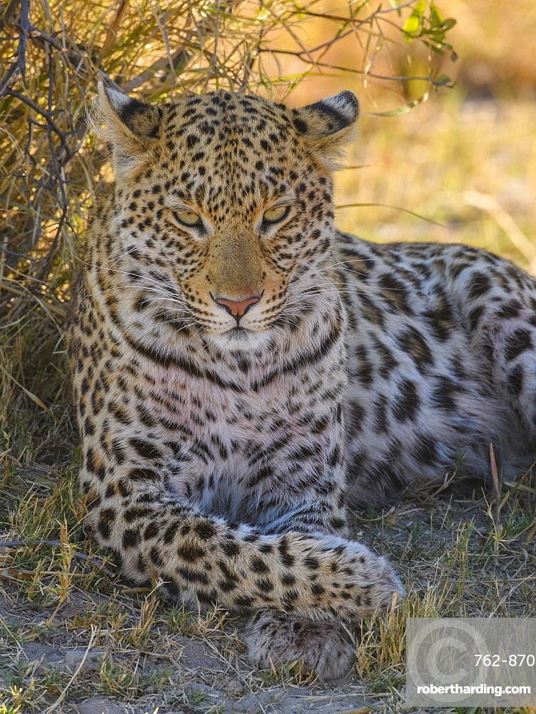 Female Leopard (Panthera pardus), resting in the shade of a tree, Bushman Plains, Okavango Delta, Botswana, Africa