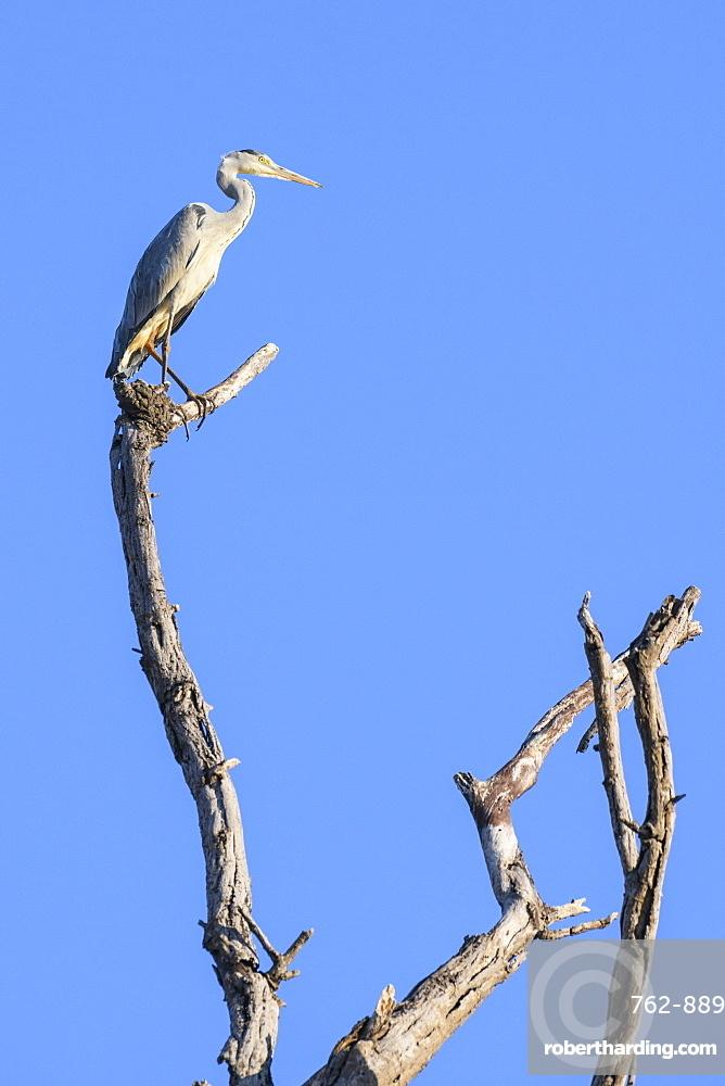 Grey Heron (Ardea cinerea) in a tree, Khwai Private Reserve, Okavango Delta, Botswana, Africa