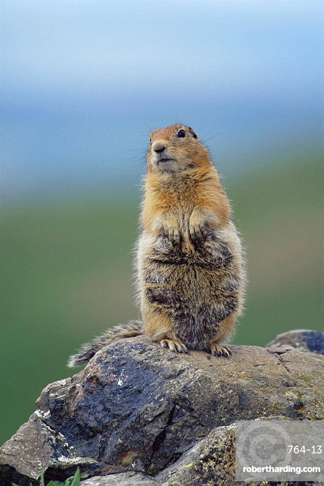 Arctic squirrel (Citellus parry), Denali National Park, Alaska, United States of America, North America