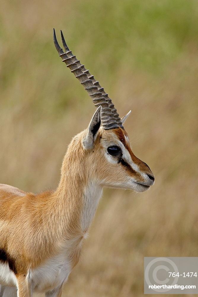 Male Thomsons Gazelle (Gazella thomsonii), Masai Mara National Reserve, Kenya, East Africa, Africa
