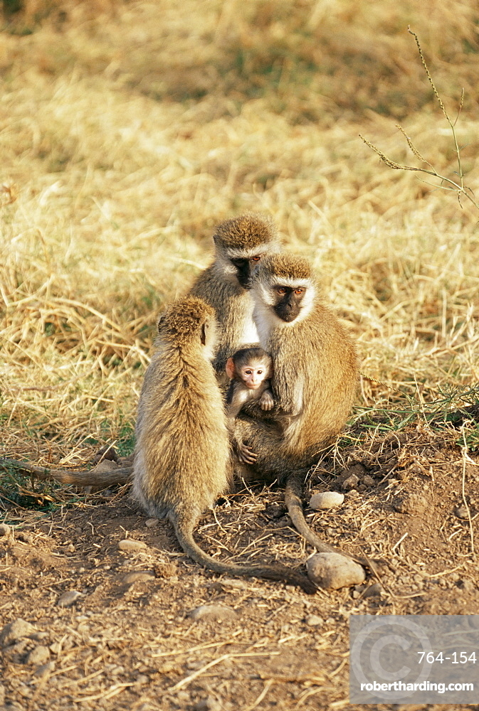 Vervet monkey with infant (Ceropithecus aethiops), Ngorongoro Crater, Tanzania, East Africa, Africa