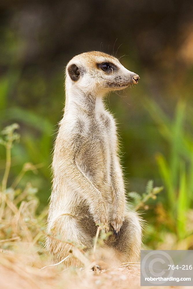 Meerkat or (suricate) (Suricata suricatta) sitting while watching, Kgalagadi Transfrontier Park, encompassing the former Kalahari Gemsbok National Park, South Africa, Africa
