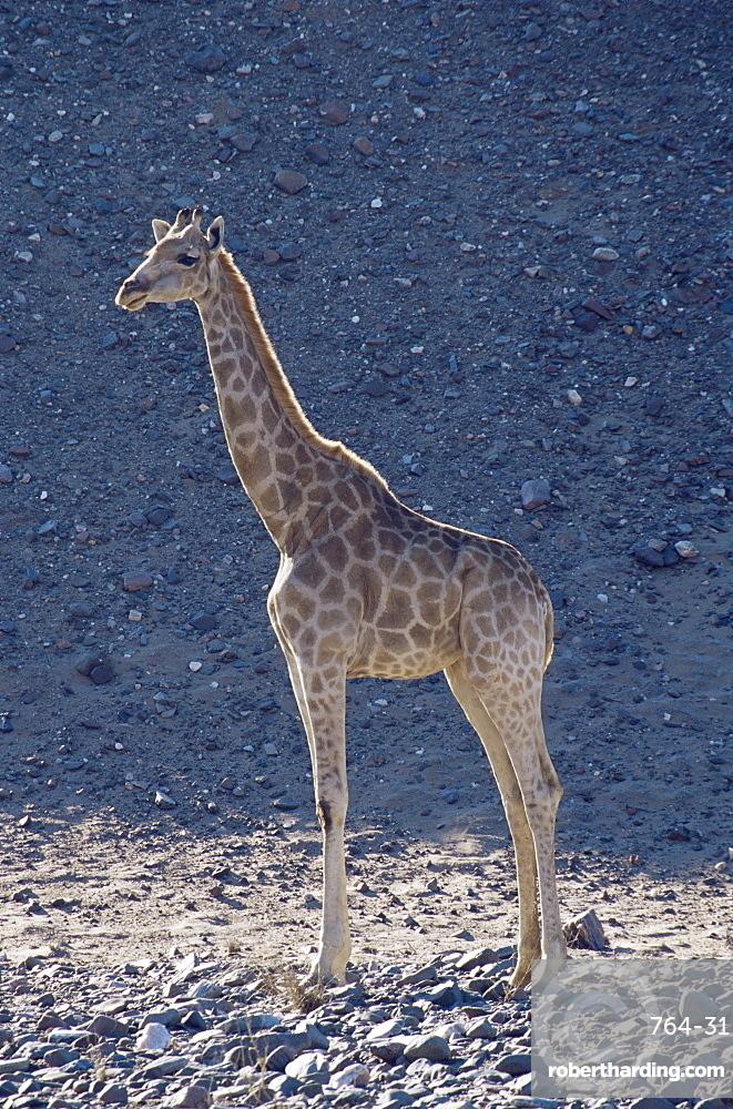 Giraffe (Giraffa camelopardalis), Skeleton Coast, Namibia, Africa