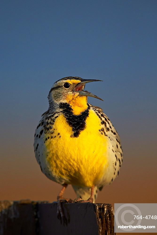 Western Meadowlark (Sturnella neglecta) singing, Antelope Island State Park, Utah, United States of America, North America